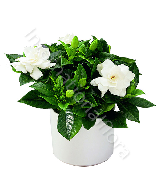 pianta-di-gardenia