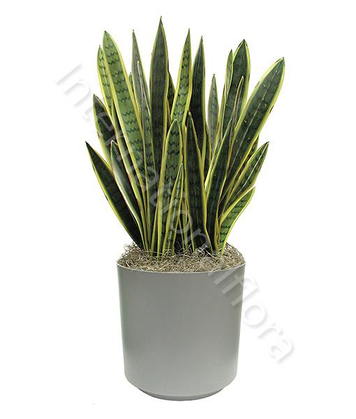 pianta-di-sanseviera