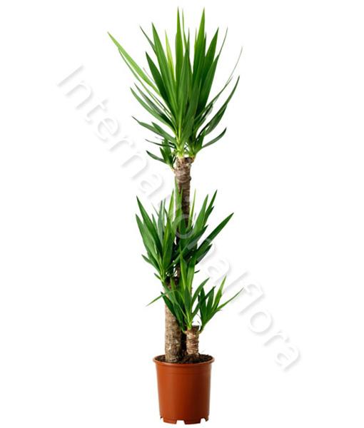 pianta-di-yucca