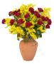 20-roselline-rosse-mimosa