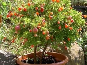 Vivaio Rosso Melograno : Pianta di melograno vs rosso gigante piante alberi di melograno