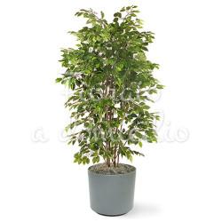 FicusBush