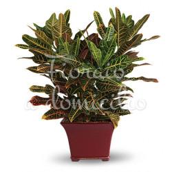 pianta-di-kroton