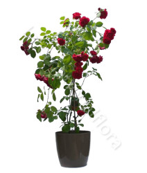 pianta-di-rose