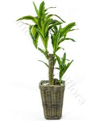 pianta-tronchetto-della-felicità